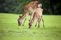 奈良公園 草原の草を食む鹿の親子
