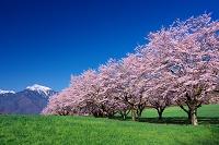 山梨県 桜と甲斐駒ケ岳