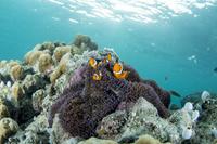 パプアニューギニア ケビエン 水中 イースタンクラウンアネモ...