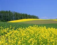 北海道・美瑛町 キガラシの花とカラマツ林
