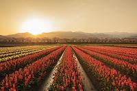 富山県 チューリップと舟川の桜並木と朝日