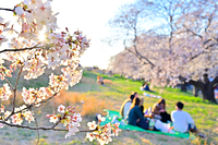 土手の桜とお花見