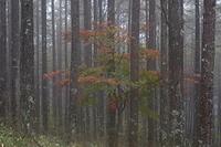 霧雨の紅葉 木曽