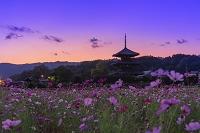 奈良県 法起寺の夕日とコスモス