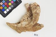 プロトケラトプスの下顎