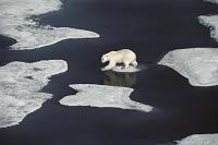 カナダ 流氷を歩くホッキョクグマ
