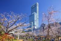 大阪府 てんしば桜の花見客とアベノハルカス