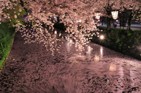 青森県 弘前城 ライトアップされた外濠の桜と流れる花筏