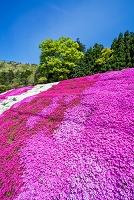 島根県 芝桜と新緑