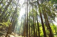 神奈川県 丹沢の原生林