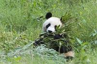 中国 ジャイアントパンダ