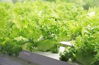 水耕栽培の野菜工場 レタス
