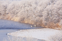 北海道 釧路川の霧氷とタンチョウのネグラ