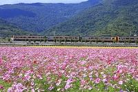 台湾 コスモス畑と列車 花蓮県