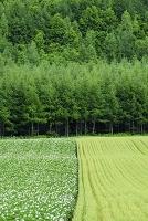 北海道 斜里 ジャガイモ畑