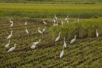 埼玉県 稲刈に群がるシラサギ