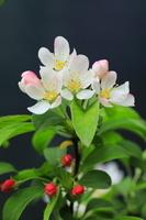 埼玉県 りんごの花
