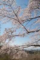 奈良市 大仏殿 興福寺 桜