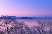 滋賀県 朝焼けの竹生島と桜