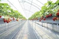 滋賀県 東近江市 苺の水耕栽培(品種名あきひめ)