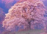岡山県 醍醐桜