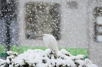 雪中のサギ