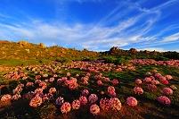 南アフリカ共和国 ナマクワランド マーチリリーの花