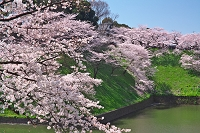 東京都 田安門付近の桜