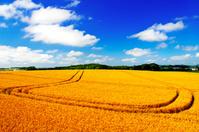 北海道 軌跡のある丘の小麦畑