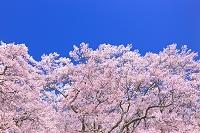長野県 高遠城址公園 高遠小彼岸桜と青空
