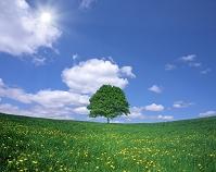 北海道 たんぽぽ咲く丘と一本木
