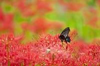 巾着田の彼岸花とナガサキアゲハ