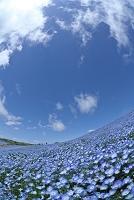 茨城県 ネモフィラの花