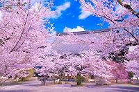 京都府 桜の立本寺
