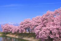 長野県 六道の堤の桜並木と残雪の中央アルプス