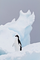 アデリーペンギン