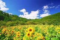 長野県 上田市 宮沢地区 ヒマワリ畑と独鈷山と雲