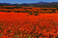 南アフリカ共和国 ナマクワランド国立公園の花園