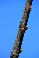 セミのヌケガラ
