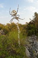コガネグモ科の蜘蛛