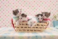 雑種の子猫