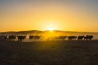 ナミビア ウシの群れ