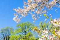 セントラルパーク 春の太陽に照らされる新緑と桜の花