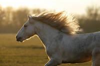 夕陽を浴びながら走る馬