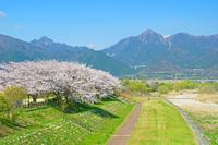 三重県 桜並木と鈴鹿山脈
