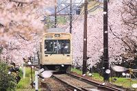京都府 桜咲く春のトンネルを走る嵐電