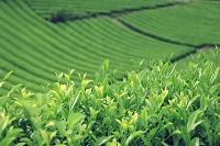 京都府  茶葉