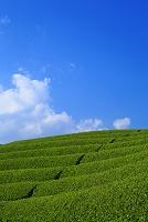 京都 茶畑