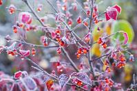 長野県 霜付くコマユミ