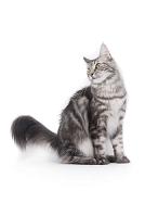しっぽを広げる猫